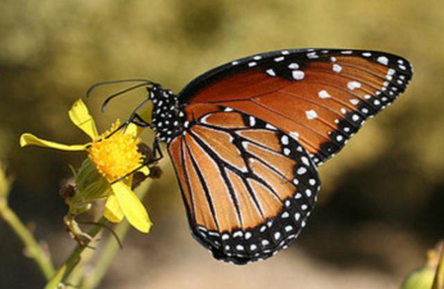 desert_butterfly